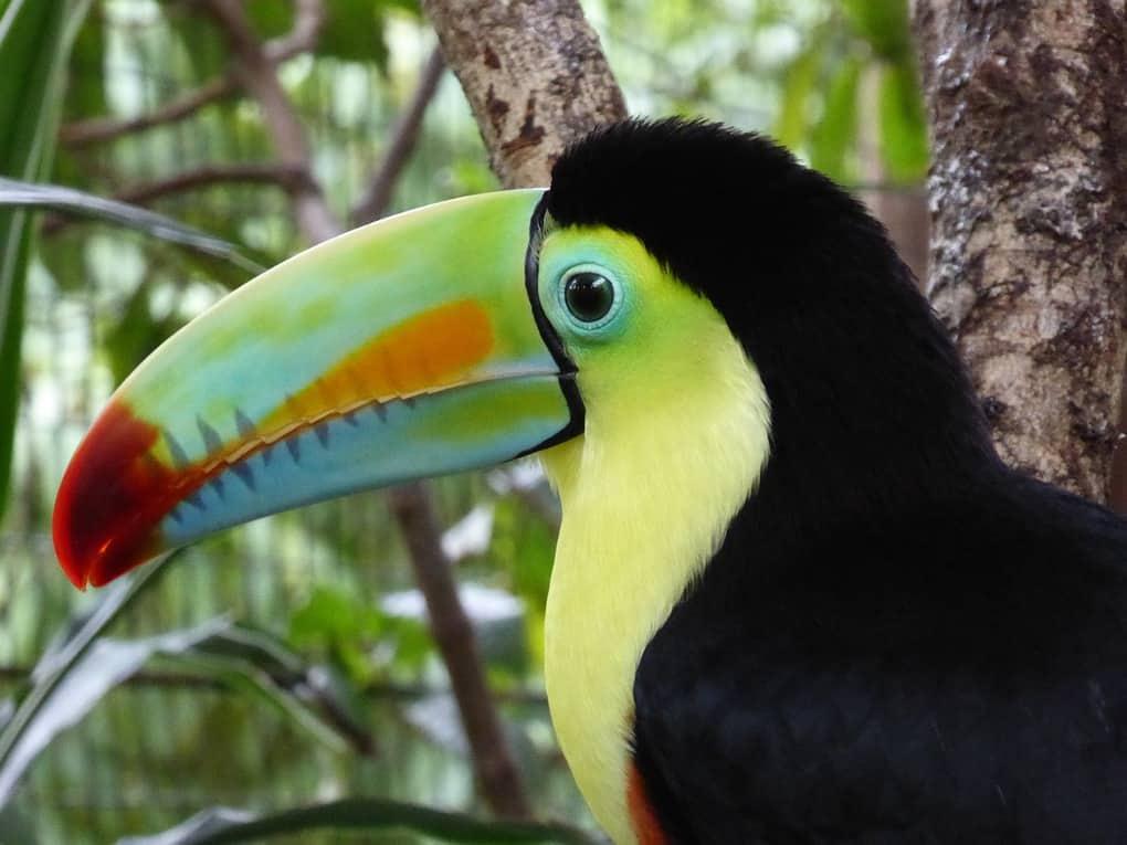 toucan wildlife in costa rica
