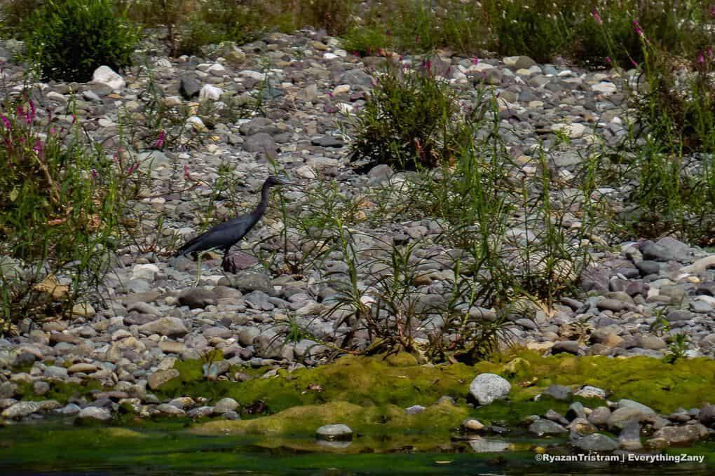 Blue heron in Jamaica