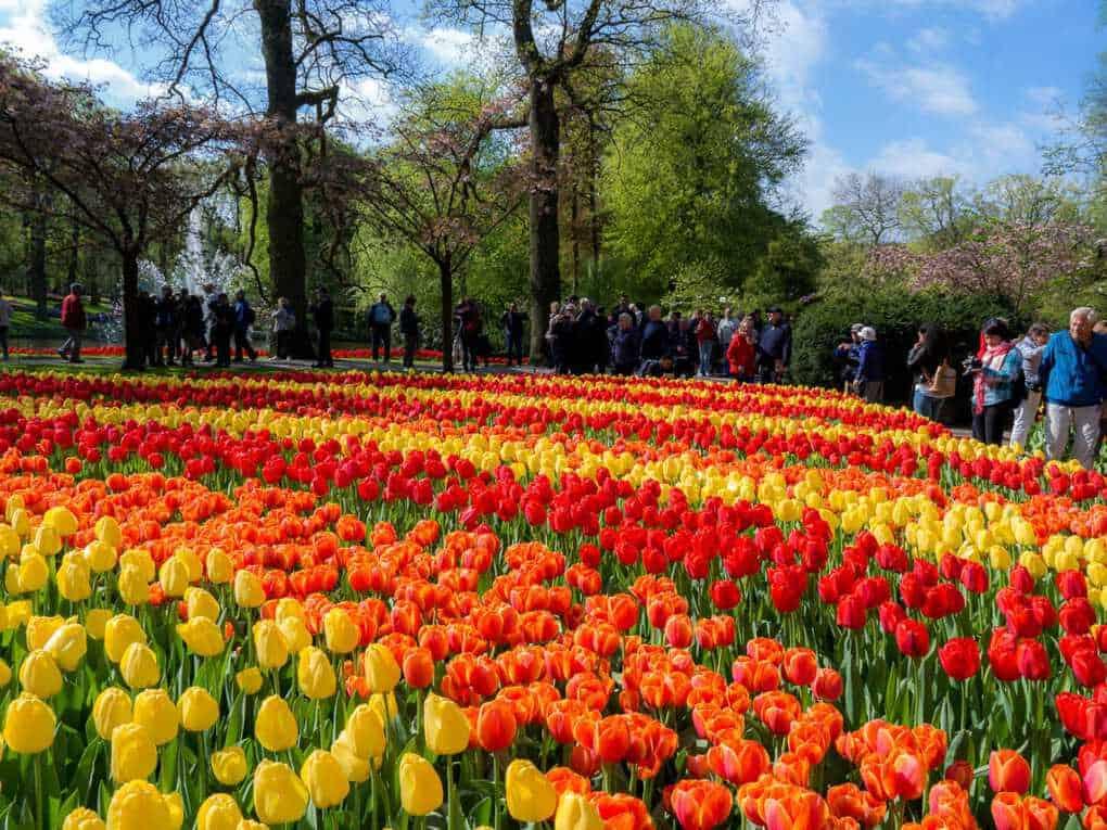 Keukenhof gardens tulips field