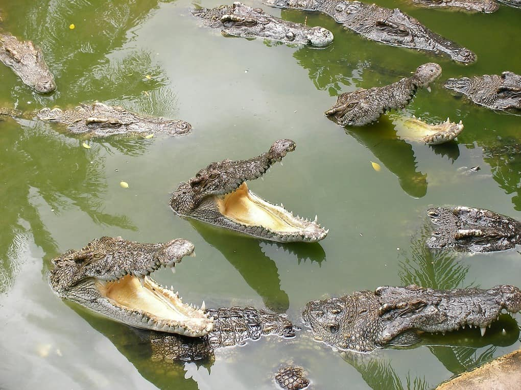 Crocodile in Bangkok Thailand