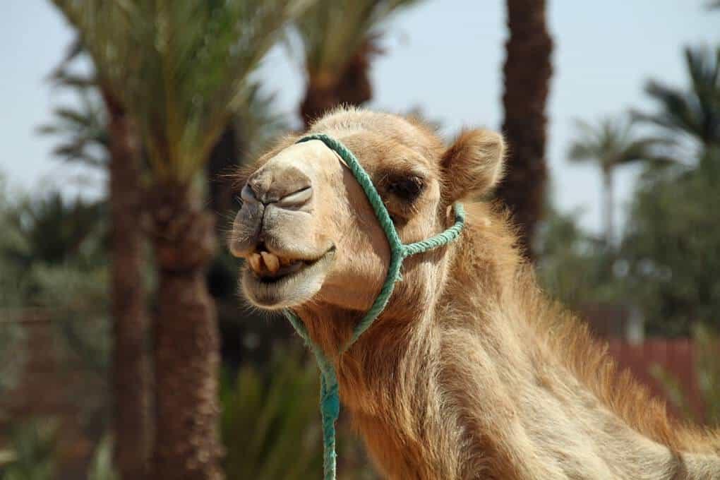 camel ride in palmerie morocco