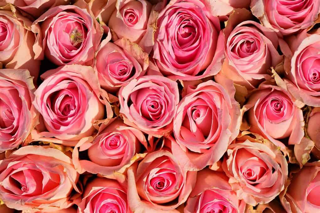 roses festival in Morocco